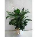 Spathiphyllum - lys de paix